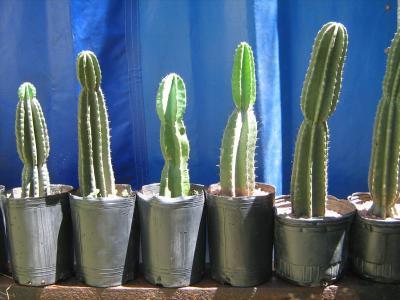 cactus-cereus-y-trichocereus-de-25-cm-a-75-cm-de-altura_MLA-F-3478946990_122012