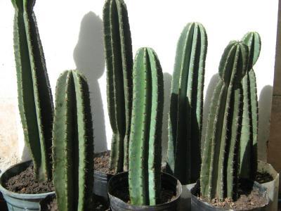 cactus-cereus-y-trichocereus_MLA-F-3082595814_082012