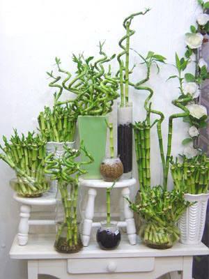 bambu-suerte