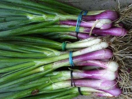 cebolla-verdeo