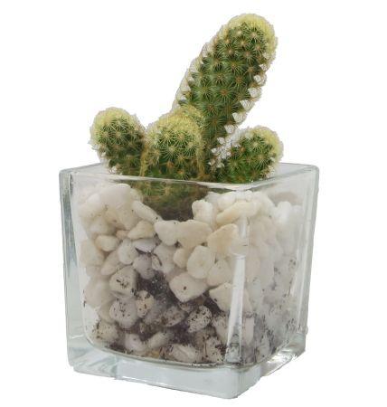 cactusPF00000246