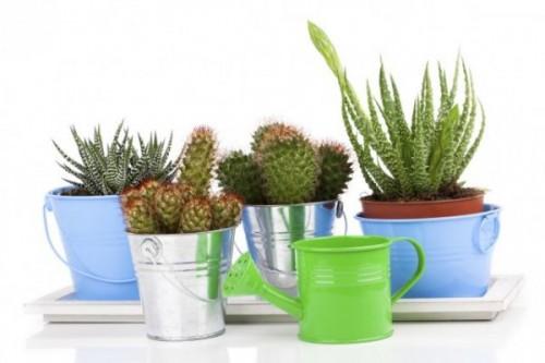 cactus_642x428